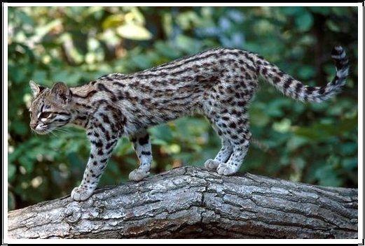 Gambar Kucing Liar Oncilla Utara