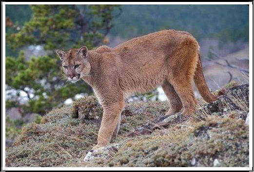 Gambar Kucing Liar Puma