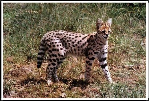 Gambar Kucing Liar Serval