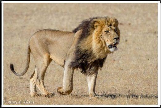 Gambar Kucing Liar Singa