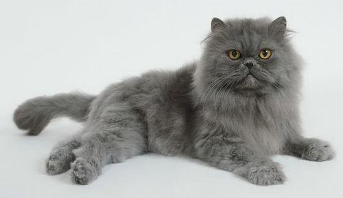 Gambar Kucing Persia abu abu