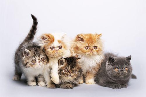 Gambar kucing Persia anakan