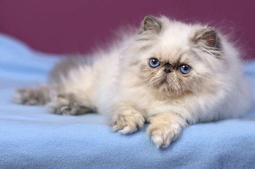 Gambar Kucing Persia asli