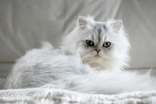 Gambar Kucing Persia betina