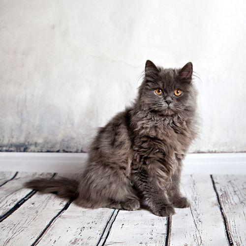 Gambar Kucing Persia hitam