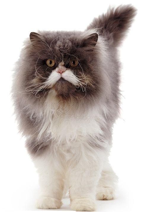 Gambar kucing Persia jantan