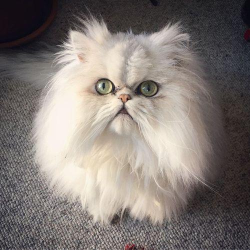 Kucing Persia Paling Lucu Dan Menggemaskan Berikut Gambar