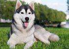 Gambar anjing Siberian Husky lucu 1
