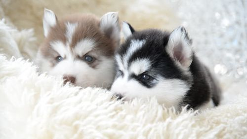Gambar anjing Siberian Husky lucu 3