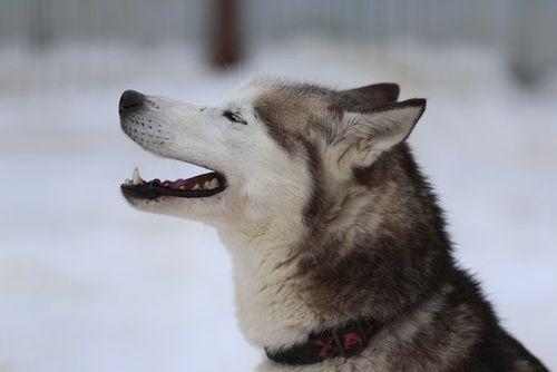 Gambar anjing Siberian Husky lucu 4