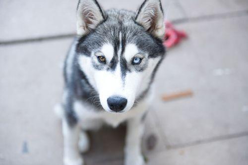 Gambar anjing Siberian Husky lucu 5