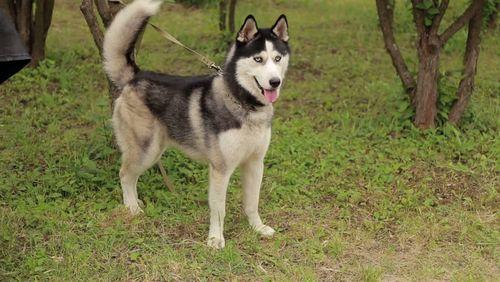 Gambar anjing Siberian Husky lucu 6