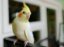 Gambar burung Cockatiel