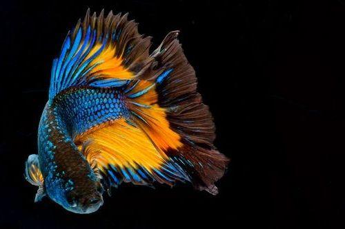 Apa Ikan Cupang Bisa Besar? Inilah Tahap Perkembangan Ikan ...