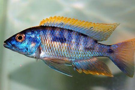Gambar ikan Aulonocara Blue Gold