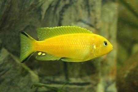 Gambar ikan Blue Daktari