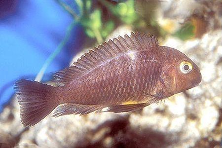 Gambar ikan Blue-Eyed Tropheus