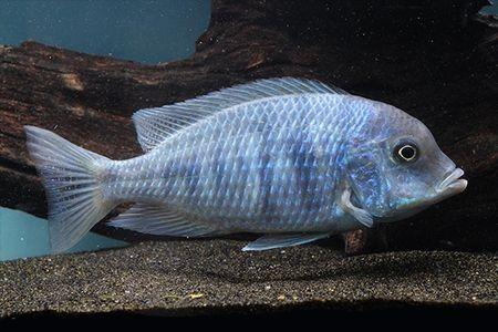 Gambar ikan Blue Moorii