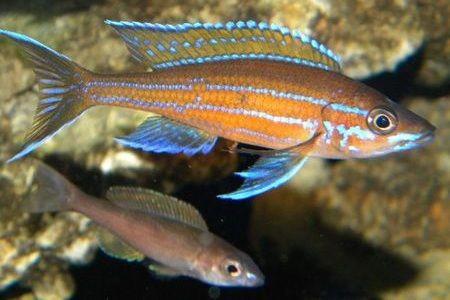 Gambar ikan Blue Neon Cichlid