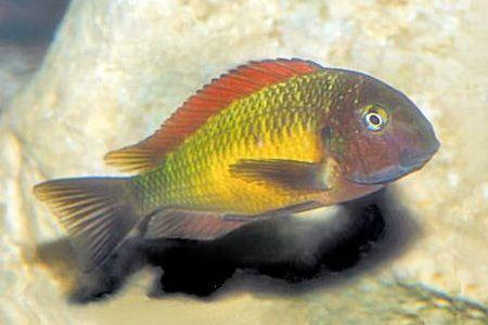 Gambar ikan Blunthead Cichlid