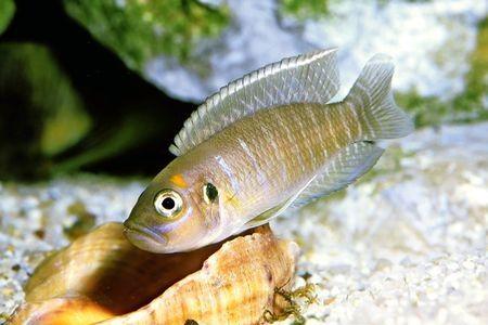 Gambar ikan Brevis Shell Dweller