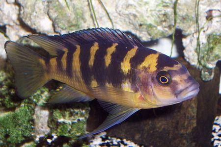 Gambar ikan Bumblebee Mouthbrooder