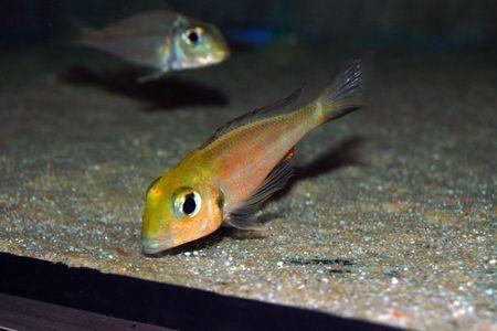 Gambar ikan Callochromis macrops