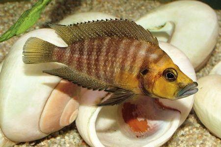 Gambar ikan Compressed Cichlid