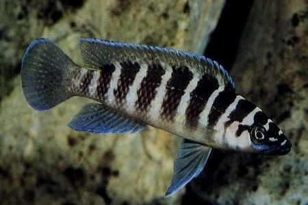 Gambar ikan Cylinder Cichlid