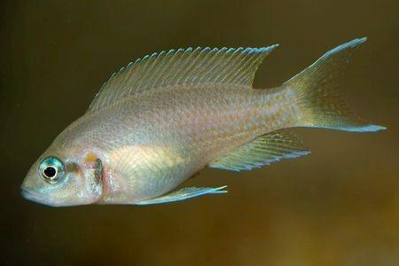 Gambar ikan Daffodil Cichlid