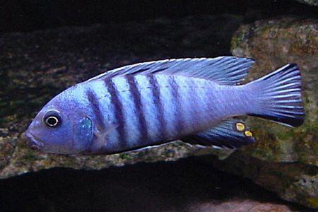 Gambar ikan Dogtooth Cichlid