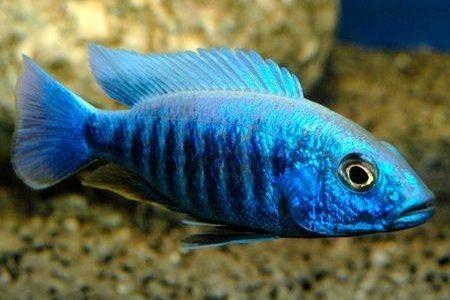 Gambar ikan Electric Blue Hap