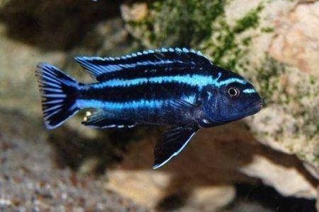 Gambar ikan Electric Blue Johannii