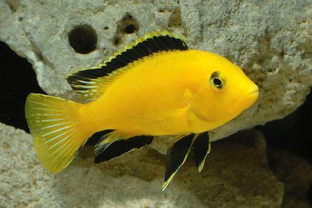Gambar ikan Electric Yellow Cichlid
