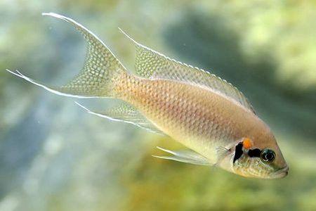 Gambar ikan Fairy Cichlid