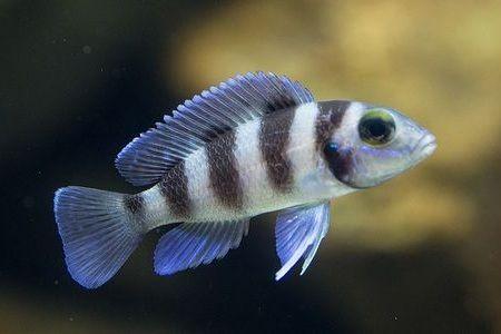 Gambar ikan Five-Bar Cichlid