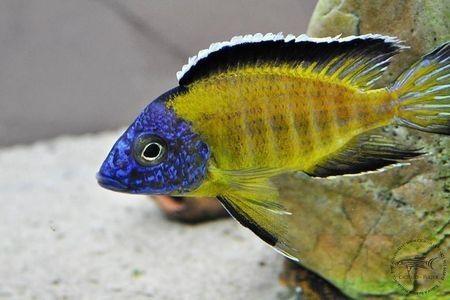 Gambar ikan Flavescent Peacock