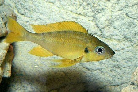 Gambar ikan Gold Nasuta