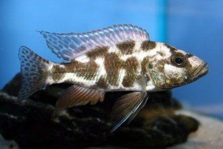 Gambar ikan Livingstoni Cichlid