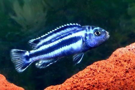 Gambar ikan Maingano