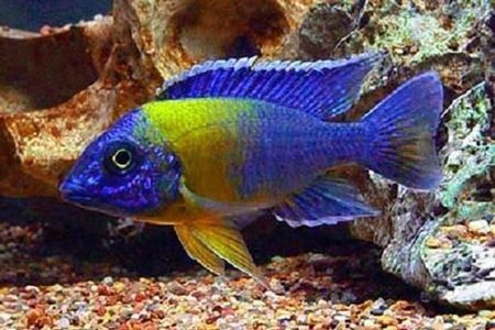 Gambar ikan Maulana Bicolor Peacock