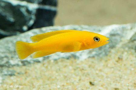 Gambar ikan Neolamprologus leleupi