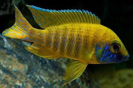Gambar ikan Nkhomo Benga Peacock