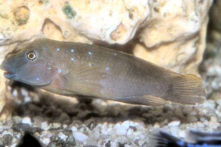 Gambar ikan Plain Goby Cichlid