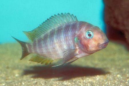 Gambar ikan Polls Tropheus