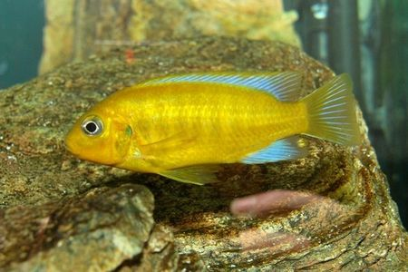 Gambar ikan Pseudotropheus Barlowi