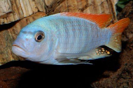 Gambar ikan Pseudotropheus Ice Blue