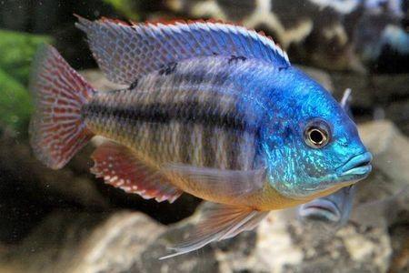 Gambar ikan Red Empress
