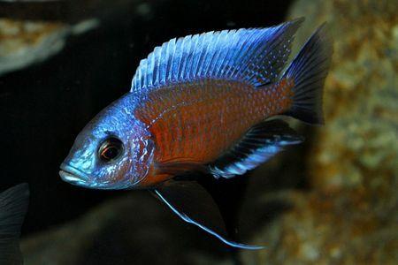 Gambar ikan Red Fin Kadango