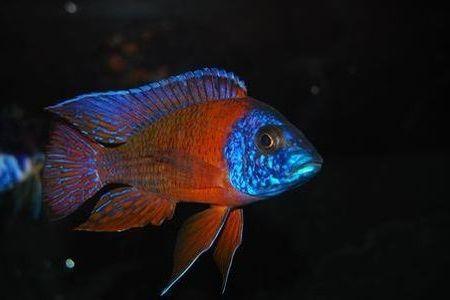 Gambar ikan Rubin Red Peacock